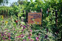 Der Weingarten des Bio-Winzerehepaares Rummel in Nußdorf in der Pfalz