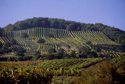Weinberg im Leithagebirge