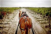Pferdestaerken im Weinberg von Chateau Pontet-Canet
