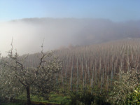 Vineyard Carnasciale