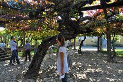 400 Jahre alte Vinho-Verde-Rebe