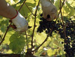 Die Trauben für den Monteti
