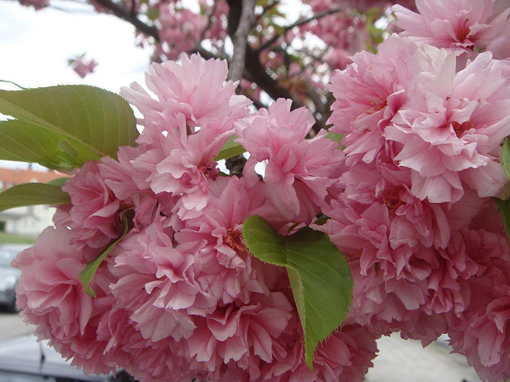 Die Mandelbäume blühen - doch die Eisheiligen nahen.
