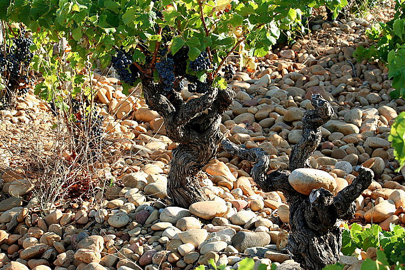 Weinrebe im Rhônetal | Foto: ©Megan Mallen