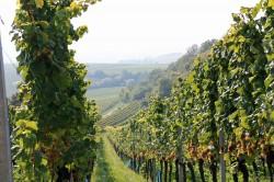 Blick in einen der Weinberge des Weinguts Rings in Freinsheim