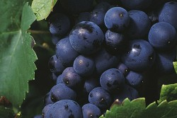 Pinot Noir-Traube