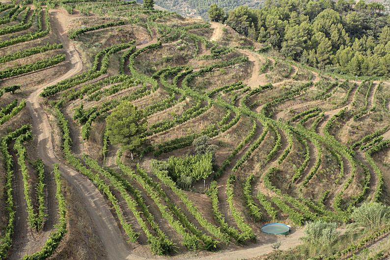 Weinberge der Bodega Mas Alta