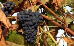 Spätburgunder-Trauben im Weingut Seeger