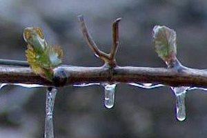 Frost in der Steiermark Artikelbild