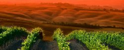Weinberge in Montalcino