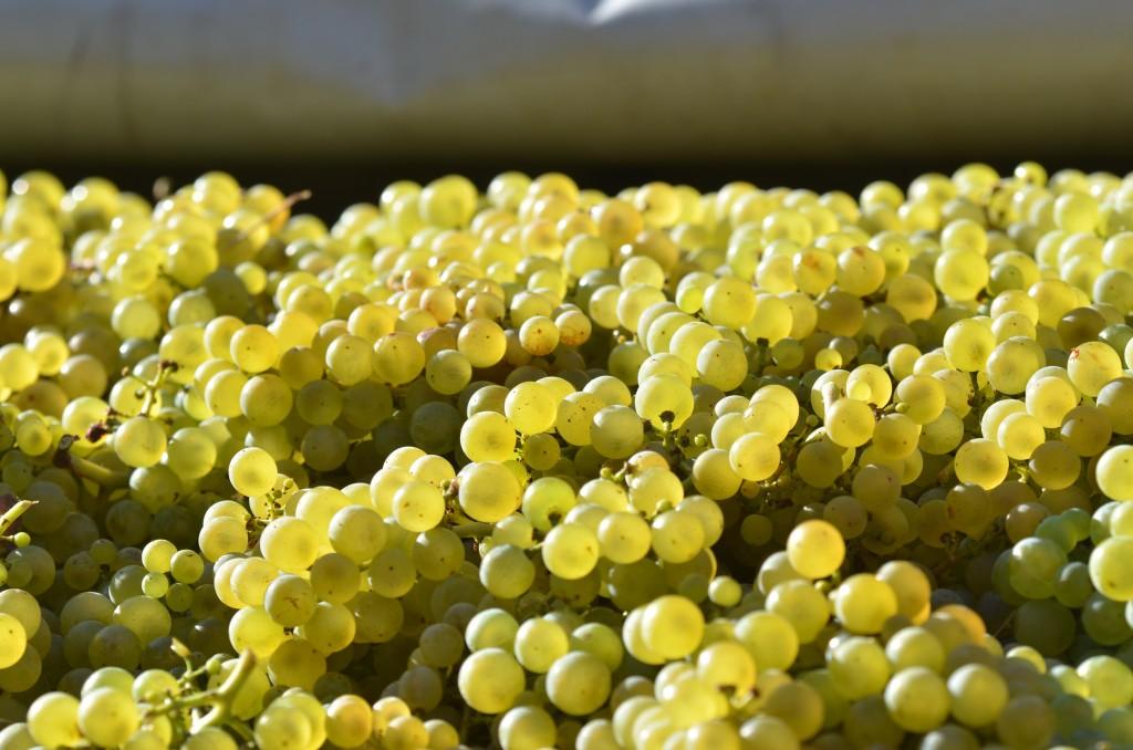 Domaine Robert Denogent Chardonnay-Trauben