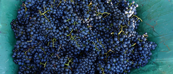 Blaufränkisch Trauben