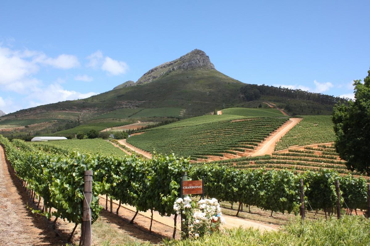 Weinberg in Südafrika