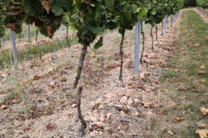 Vandalismus im Weinberg: Reben des Weingut Breitenbach zerstört
